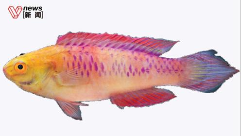 2019新发现71种动植物,紫色小鱼用瓦坎达命名