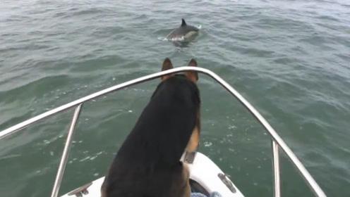 德牧看见一群海豚,危险的事情发生了,主人根本没时间拦!