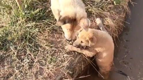 母爱不分物种,小狗狗落水,狗妈妈这一幕好感人!