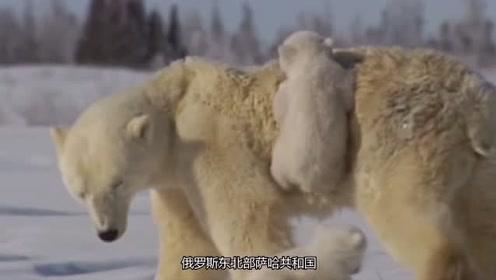 熊妈妈为了保护孩子,以身犯险死在宝宝面前,感动围观众人