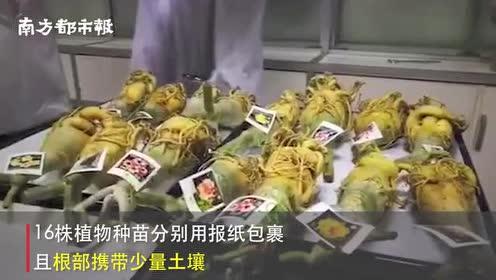 """潮汕机场海关查获16株邮递入境""""沙漠玫瑰""""!易携植物性病虫害"""