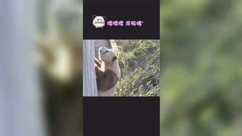 前方高萌!看网红熊猫如何吃胡萝卜