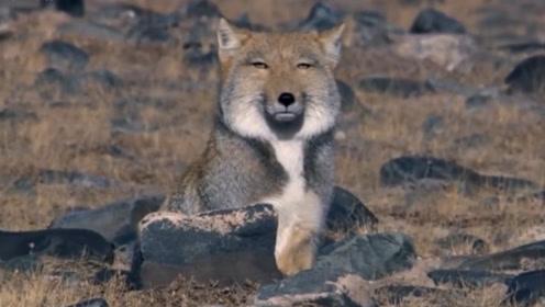 天生长着一张方脸的藏狐,出门见到的人和动物,都想打自己
