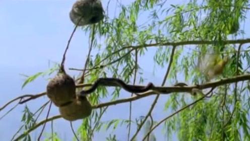 蛇要进鸟窝吃鸟蛋,鸟妈妈拼命反抗结局却令人惋惜