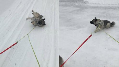 懒狗狗躺雪地让拖着走 就是不愿意自己站起来
