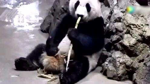 旅美大熊猫贝贝的日常,誓要将老外萌翻到底!