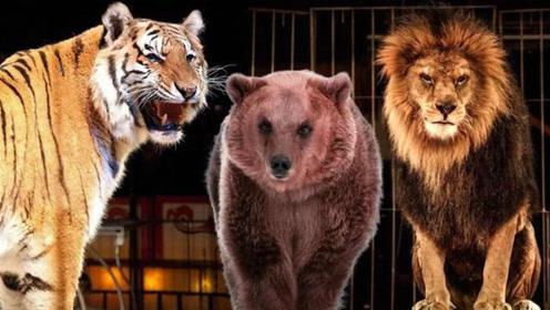 如果让狮子,老虎和狗熊打起来,谁能获得胜利?