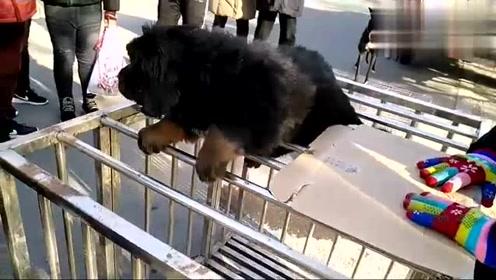 纯种小藏獒奶狗来狗市一会就让人抱走两条,小伙抓住小狗爱不释手