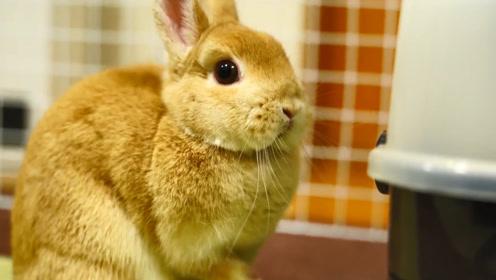 """澳大利亚与兔子的""""百年纠葛"""",差点被兔子亡国!镜头拍下全过程!"""