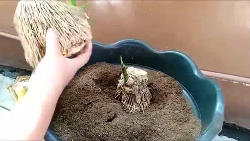 竹类植物的快速生长,原来这么简单就可以做到