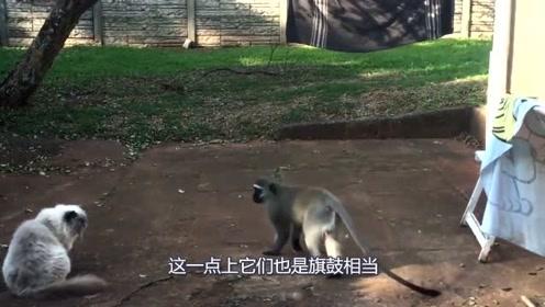 顽皮的猴子挑战猫咪,双方打了个平局,离场时猴子的动作亮眼了