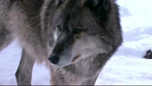 自然传奇:谁是阿拉斯加雪山上的生存之王,你肯定想不到