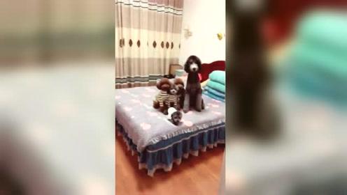 狗狗霸占了主人的床,主人扔了个东西,演技真好