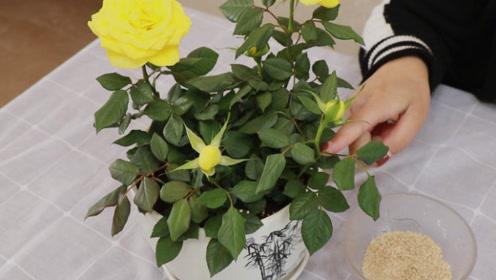 你还在养花吗,盆里撒一把它,开花爆满盆,我也是刚知道