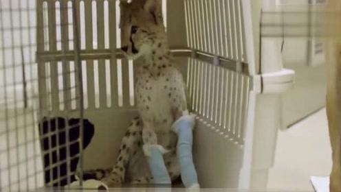 小猎豹被弃养后汪星人一直保护它,长大后成了狗狗最硬后台!