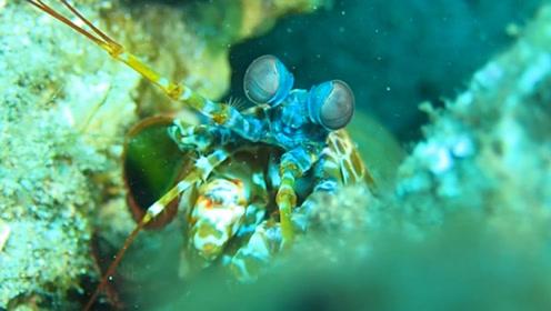 世界上最凶悍的虾,个性凶残,普通鱼缸真心养不了!