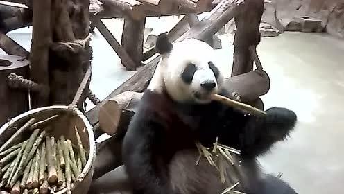 可爱的国宝大熊猫在吃竹子