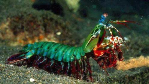 世界上最凶猛的虾,在海底经常欺负弱小生物,真是横行霸道!