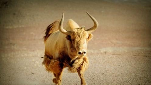 它是世界上最神秘的牛 被誉为黄金神兽 传说看到它会有好运气