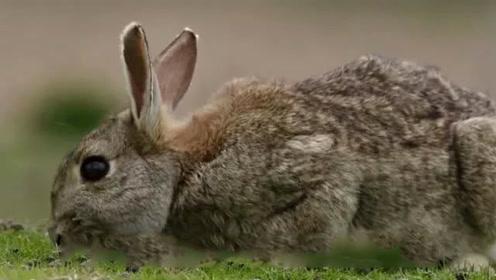 恐怖画面!海鸥遇到兔子如像吃饺子 一口将其吞下