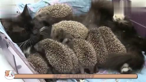 猫咪和刺猬不顺眼,上去就是一巴掌,下一秒忍住别笑