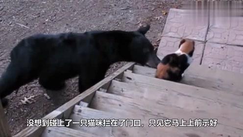 猫咪在野外遭遇黑熊,黑熊的反应让人意外,镜头记录全过程!