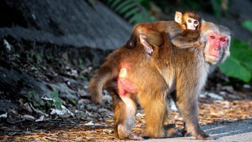 为什么动物园里,猴子的屁股又红又肿?管理员:管不了!