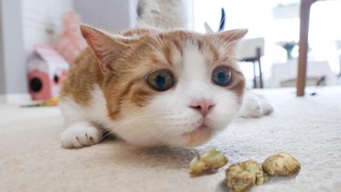给猫咪尝下虫瘿果 竟然比猫薄荷还喜欢吃!