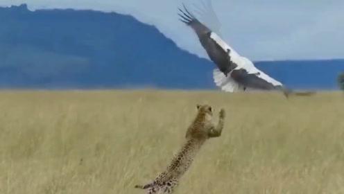 丹顶鹤遭遇豹子捕食,场面惊险,镜头拍下全过程!