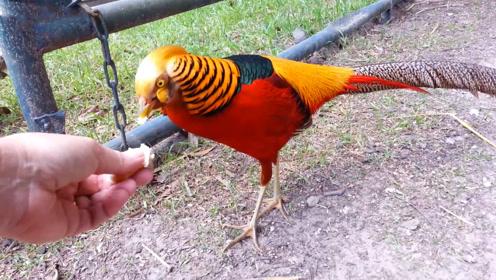 野鸡原来长这样!漂亮雄性雉鸡形似孔雀,惊艳尾羽让人赞叹!