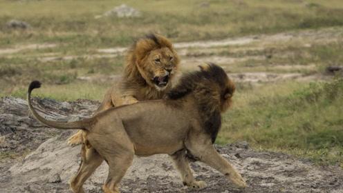 狮王因太老竟被其它鬣狗群欺负,还好它的儿子及时感来营救