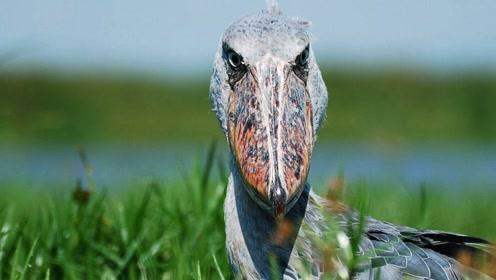 非洲沼泽上空的暗夜杀手大嘴吃天下,鳄鱼都是盘中之餐