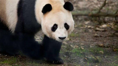 太残忍了!大熊猫在英国遭电击,英国动物园给栅栏通电