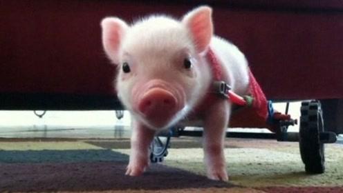 小猪意外残疾失去双腿,主人好心定制轮椅,跑的比人还快!
