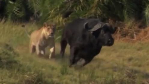 """嚣张狮子疯狂追杀野牛,不料被野牛""""开膛破肚"""",惨死当场"""