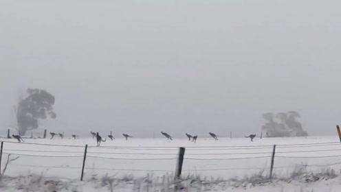 澳大利亚下雪,成群的袋鼠在雪地上跑跳,网友称:它们是脚底冷