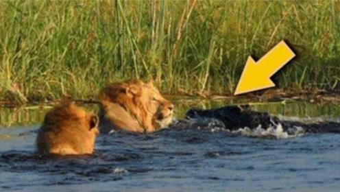实拍两头狮子过河,却惨遭鳄鱼拖入水底,太惨了