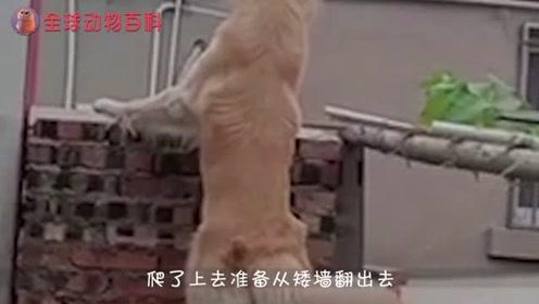 农村的狗狗就是厉害,大门关了还能翻墙?三天不打上房揭瓦!