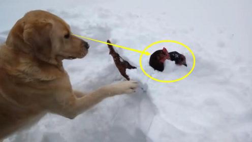 两只母鸡被埋在雪地里,狗狗发现以后,瞬间开始拼力抢救