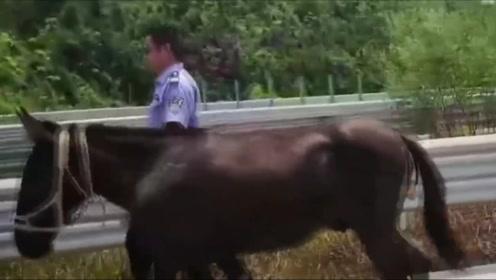 施工队骏马上山吃草误闯高速 车流中逆行狂奔2公里被拍下
