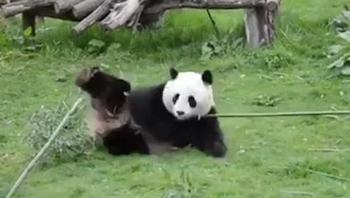 """熊猫一本正经""""舞枪弄棒""""走红  炉火纯青网友看呆:真功夫熊猫"""