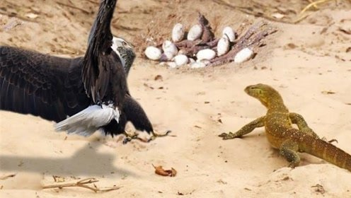 老鹰捉住一条蜥蜴,意外爪子被反咬住,镜头记录下全过程