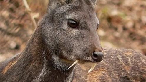 最神奇的鹿,竟长着一对獠牙,还拥有极高的研究价值