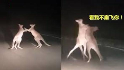 两只袋鼠半夜偷偷打架,司机故意照亮现场,打架姿势太搞笑!