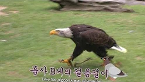 特立独行的秃头鹰,不羡慕天空的广阔,想安静的像狗一样在路上走