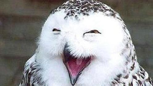 为什么猫头鹰一笑,就暗示有人去世?不是迷信,有科学依据