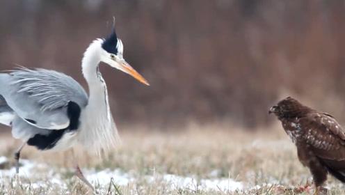 苍鹭仗着自己个子大,想抢夺老鹰的猎物,结果却白忙活一场