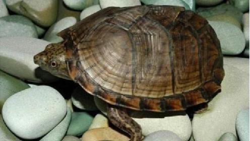 """乌龟没了龟壳还能存活吗?专家带你现场解刨,场景十分""""震惊""""!"""