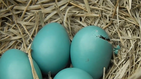 """男子在野外捡到一枚""""绿蛋"""",带回家孵化后,最后发现捡到宝了"""