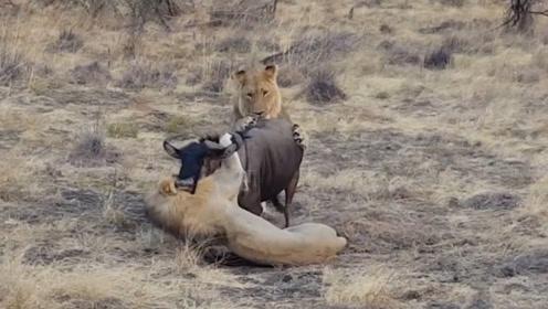 2只狮子死死咬住角马,本以为角马必死无疑,结果却出乎意料